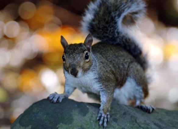 L'écureuil gris d'Amérique