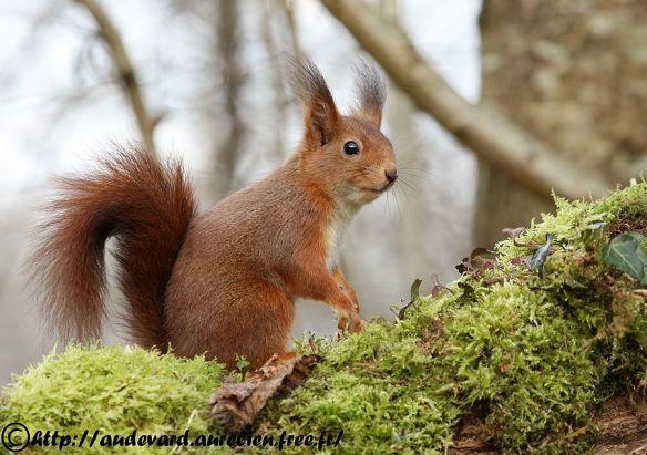 L'écureuil roux d'Europe