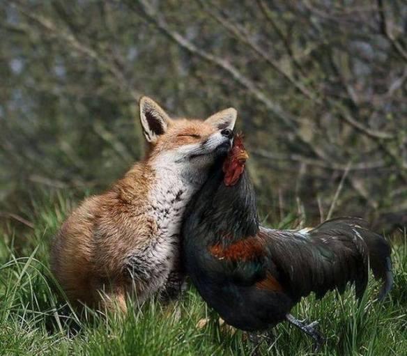 renard coq