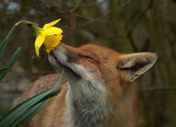 renard fleur